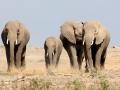 Elefantes caminhando no Parque Nacional do Amboseli, Quênia