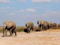 Elefantes cruzando o deserto no Parque Nacional do Amboseli, Quênia