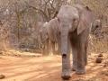 Elefantes órfaos no Parque Nacional de Tsavo, Quênia