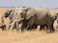 Familia de elefantes em sua migração diáriano Parque Nacional do Amboseli, Quênia