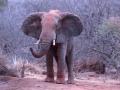 Elefante passando a manhã no Parque Nacional de Tsavo, Quênia