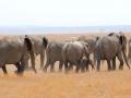 Elefantes em sua migração diária no Parque Nacional do Amboseli, Quênia