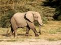 Elefante no Parque Nacional do Amboseli, Quênia