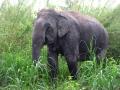 Elefante no Santuario de Camboja