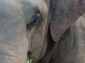 Elefante asiático, Tailandia