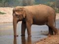 Elefante no rio, Tailandia