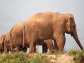 Elefantes passeando na Tailandia