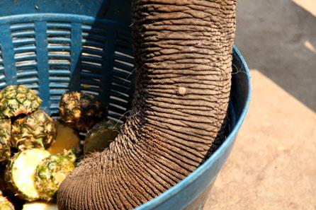 Close na tromba de um elefante asiático comento abacaxi