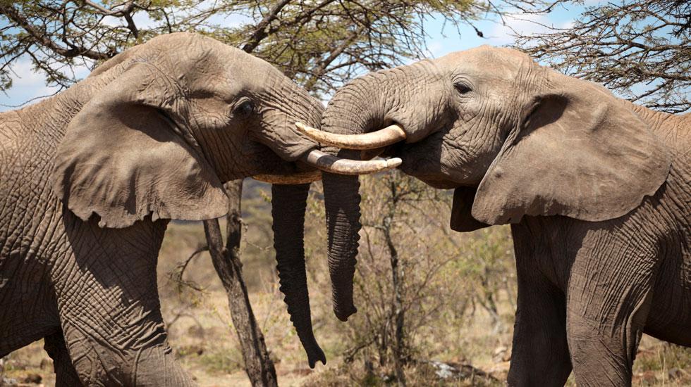 Elefantes Africanos em contato