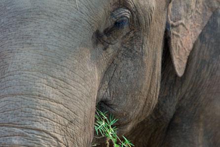 Elefante asiático close
