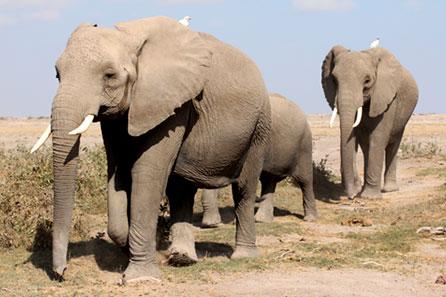 elefantes_africanos_migracao - princípios