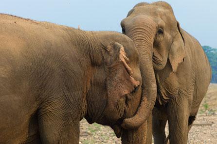 Elefantes asiáticos carinho