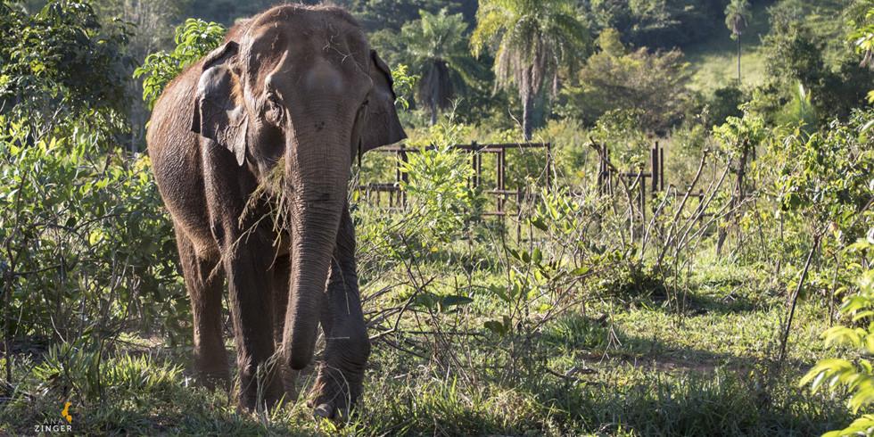 Doe para o Santuário de Elefantes Brasil