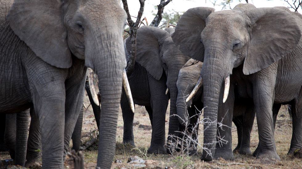Elefantes africanos - Mídia