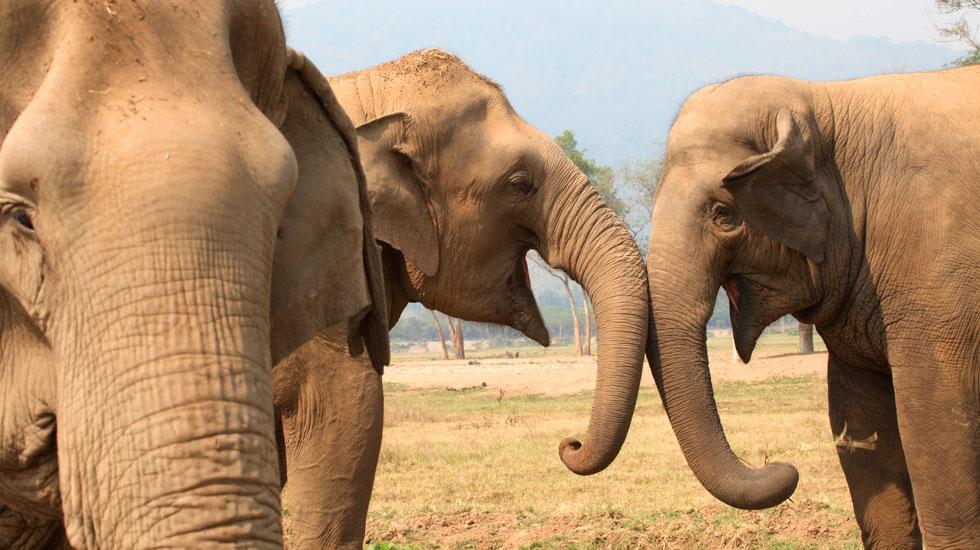 Elefantes interagindo - princípios para um santuário