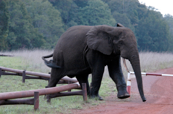 11_elefante_campo_oleo