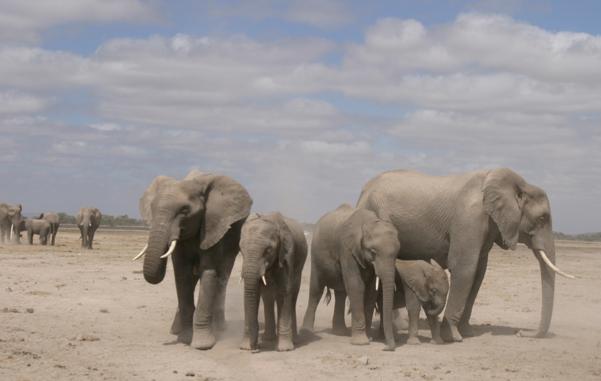 mente e movimento - elefantes africanos