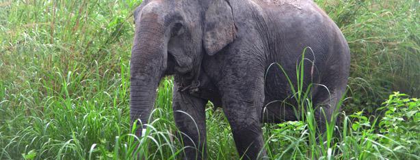 elefante asiático libertado de circo