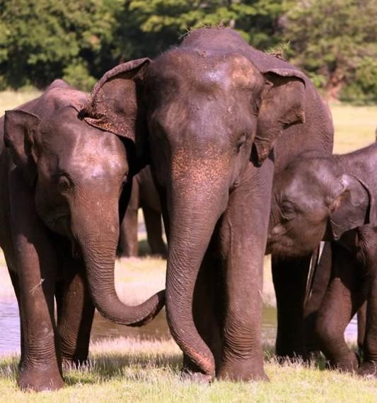 Comunicação Tátil dos Elefantes 1