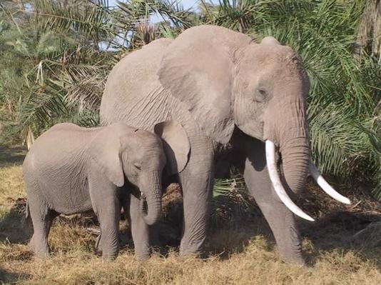 Comunicação Tátil elefantes africanos 2