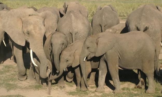 Comunicação Tátil Elefantes Africanos 3