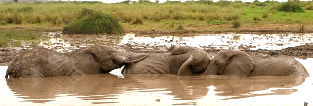 Comunicação Tátil de Elefantes