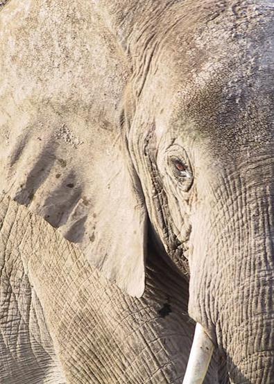 comunicação visual dos elefantes