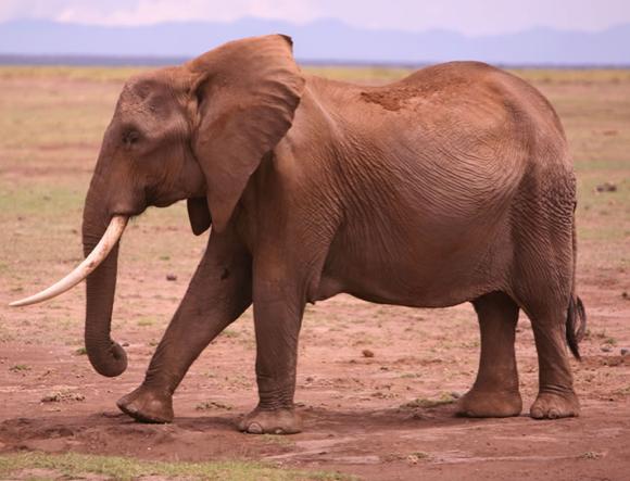 comunicação sísmica dos elefantes