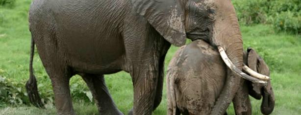 foto destaque inteligência dos elefantes