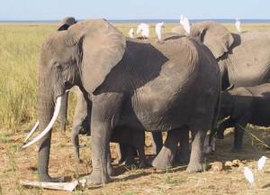 foto inteligência dos elefantes 1