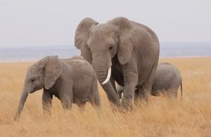 foto inteligência dos elefantes 2