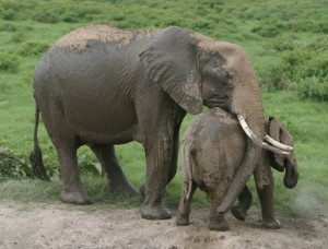foto inteligência dos elefantes 3