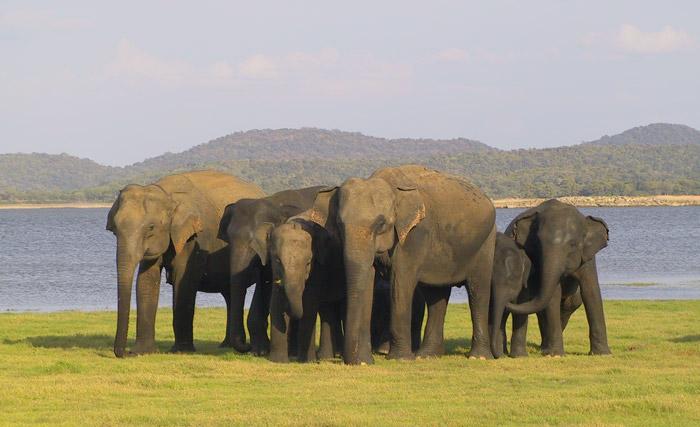 Minneriya-family-Joyce-Poole-ElephantVoices_web