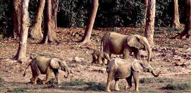 fatos e números - elefantes africanos da floresta