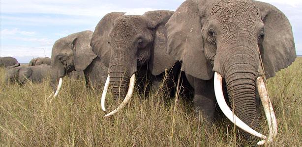 fatos e numeros - elefantes africanos da savana