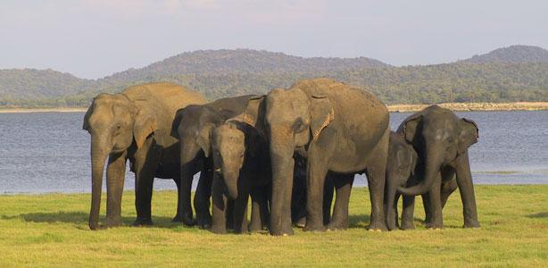 fatos e numeros - elefantes asiáticos