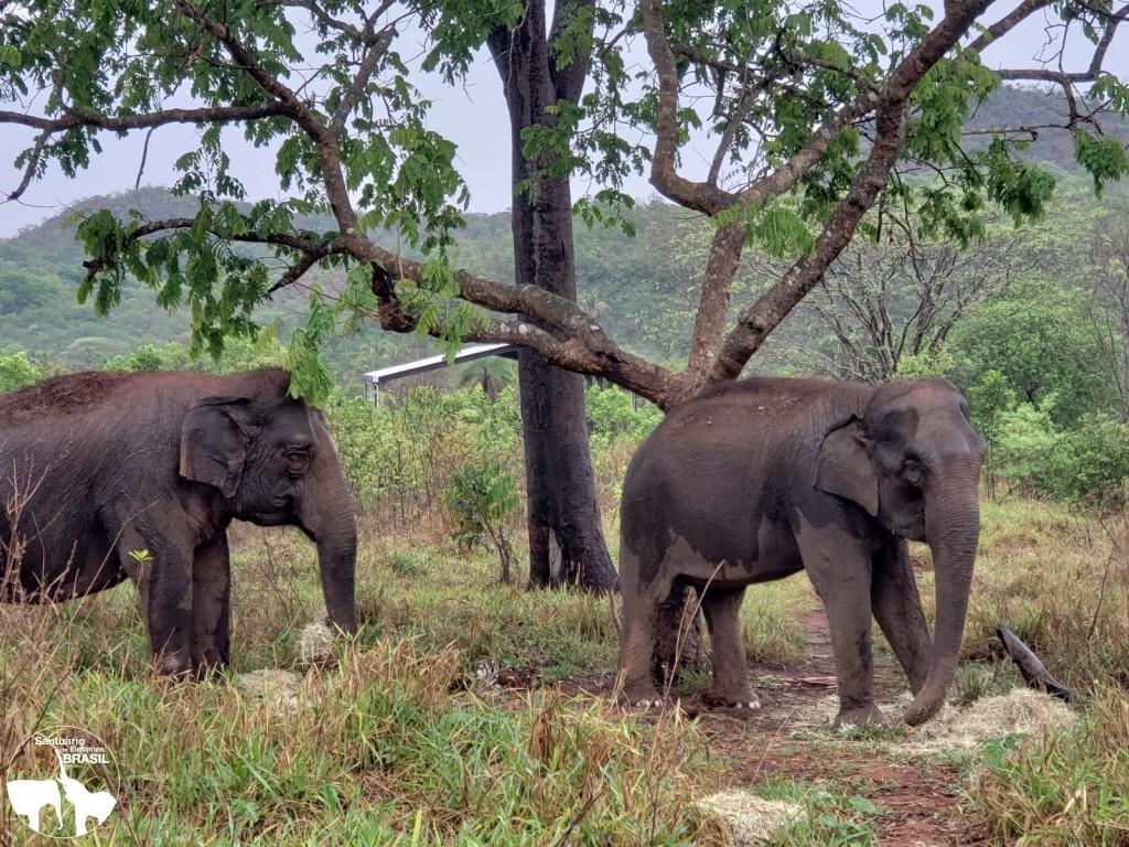 Maia e Guida adoram banho de chuva e, atualmente, caminham livremente em área de 29 hectares no Santuário